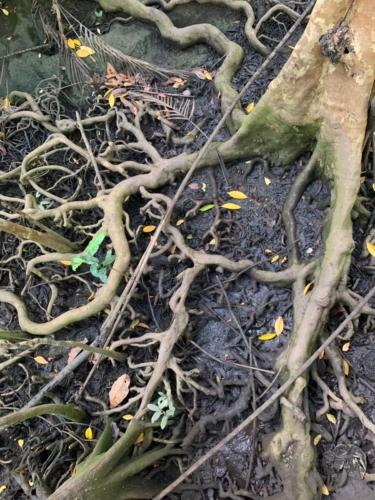 Radici di mangrovie