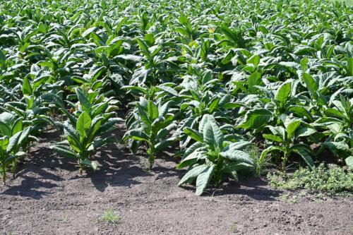 Coltivazioni di tabacco